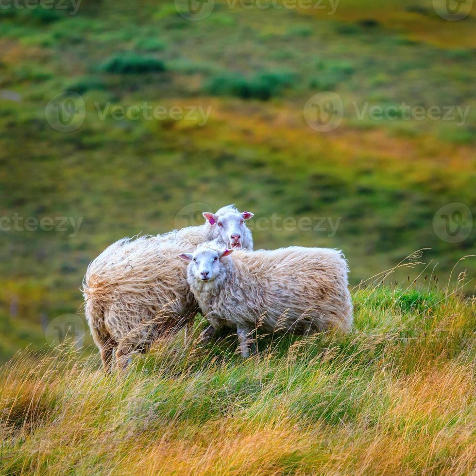 dos ovejas foto