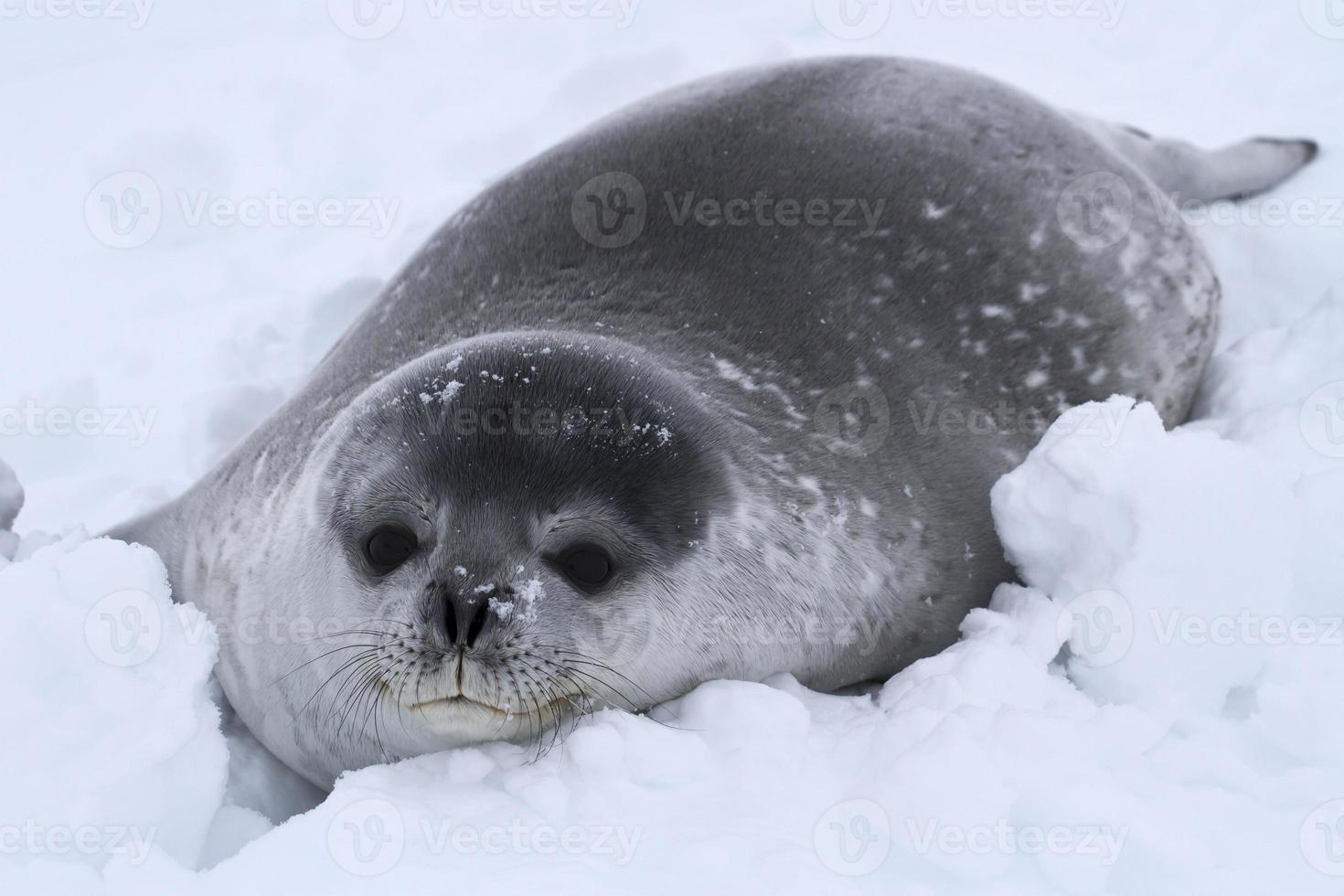 Weddell seal pup in the snow in Antarctica photo