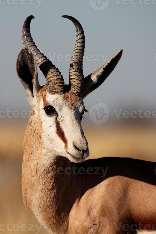 Springbok primer plano masculino, Etosha PN, Namibia foto