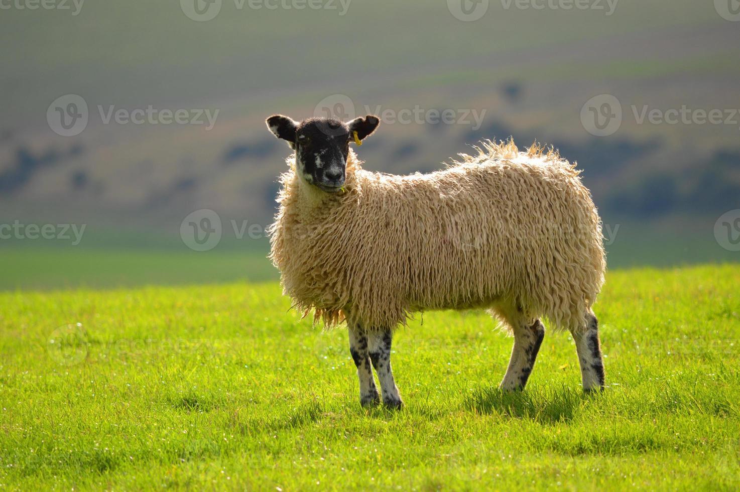 ovejas en el sur foto
