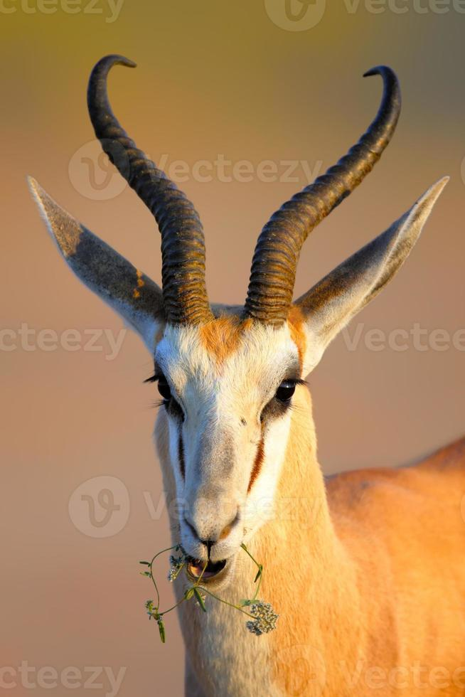 Springbok chewing on a small wild flower photo