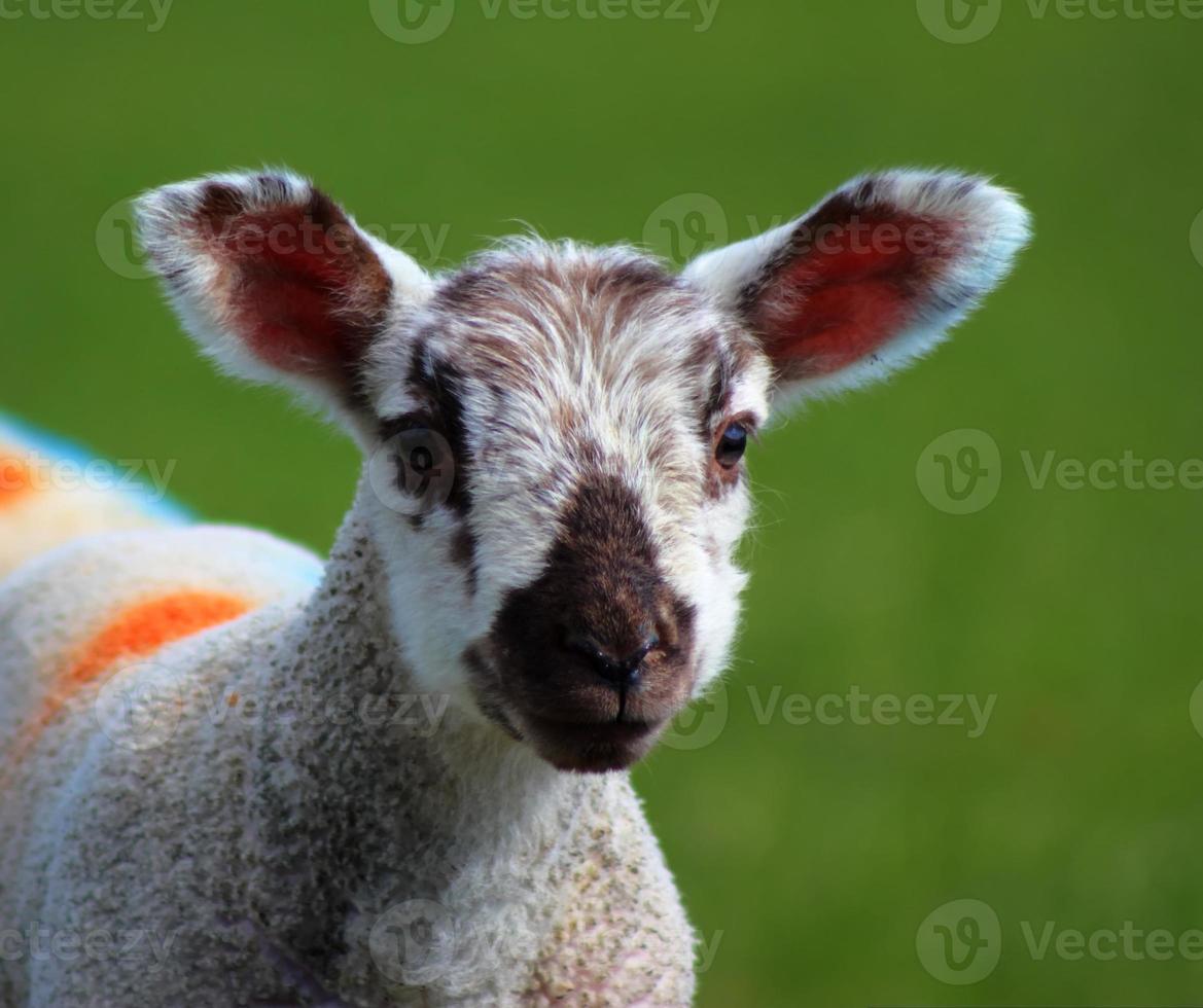 young lamb photo