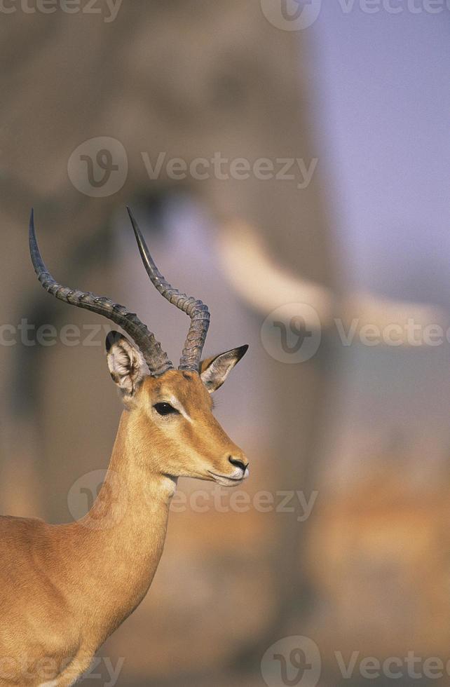 gazelle photo