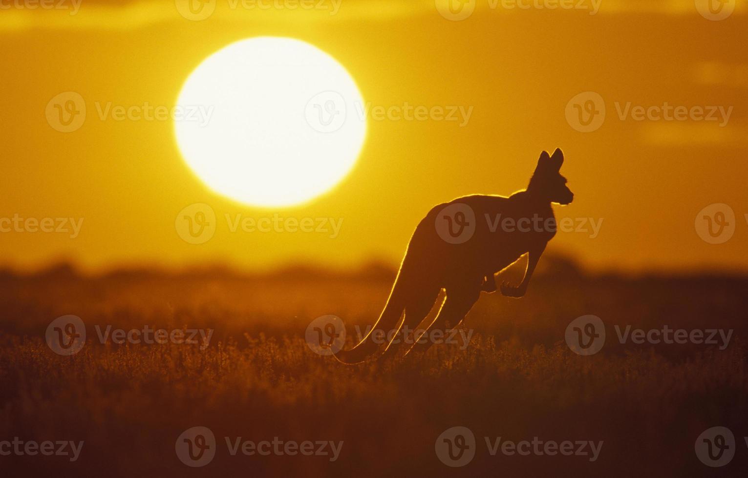 silhueta de um canguru no campo ao pôr do sol foto