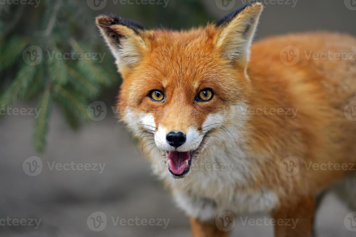 Foto de alta definición de un zorro naranja con ojos de color naranja