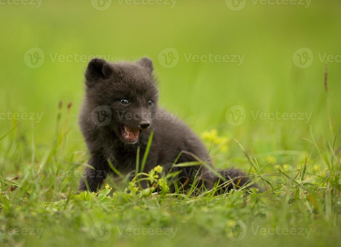 zorro ártico vulpes lagopus cub foto