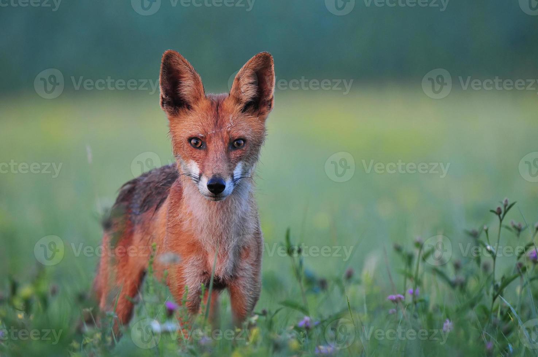 Red fox in a field photo
