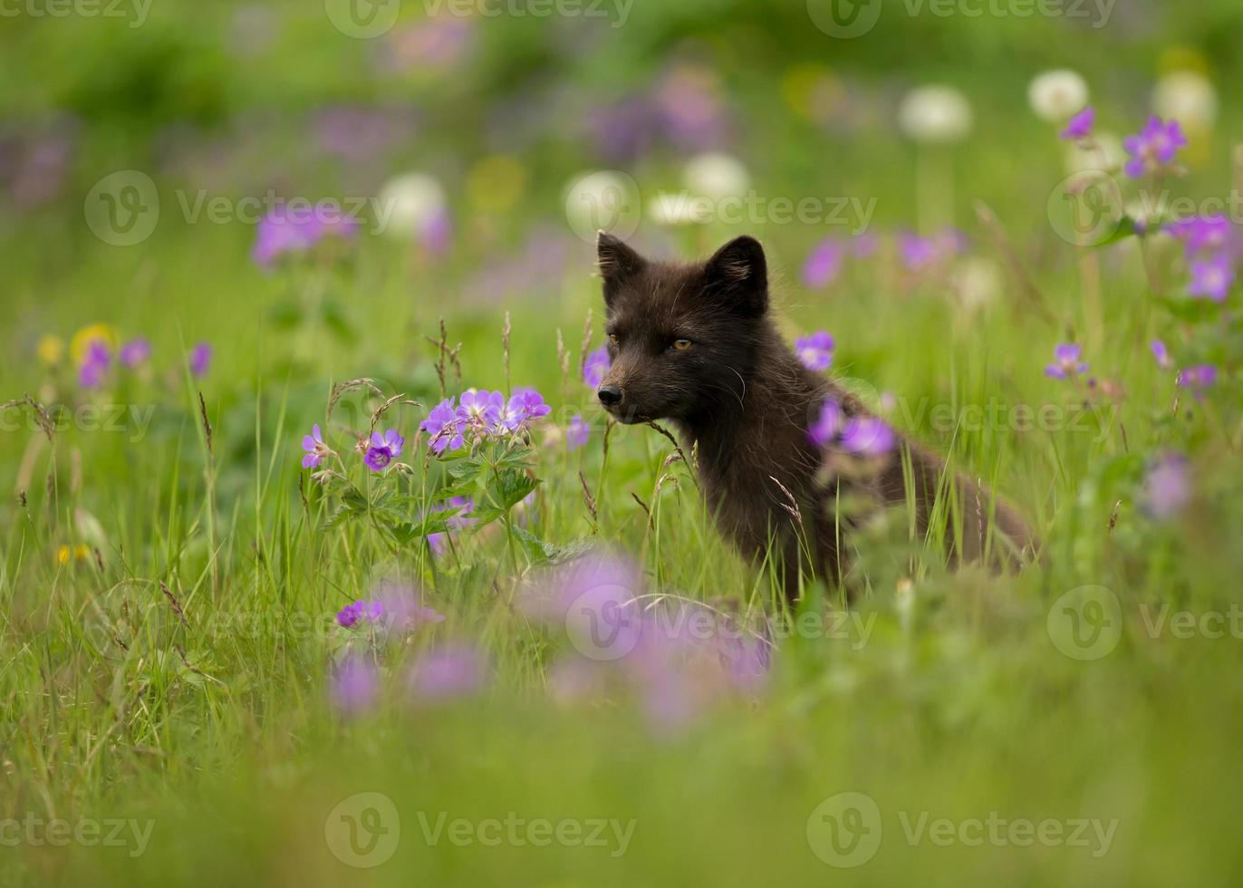 Arctic fox Vulpes lagopus in the meadow of flowers, Iceland. photo