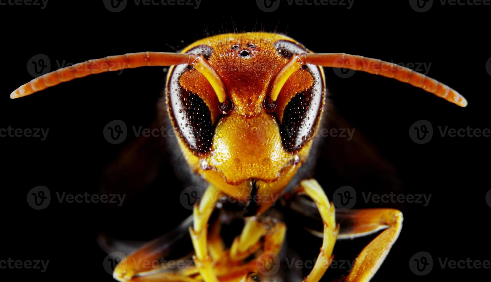 Yellow Hornet photo