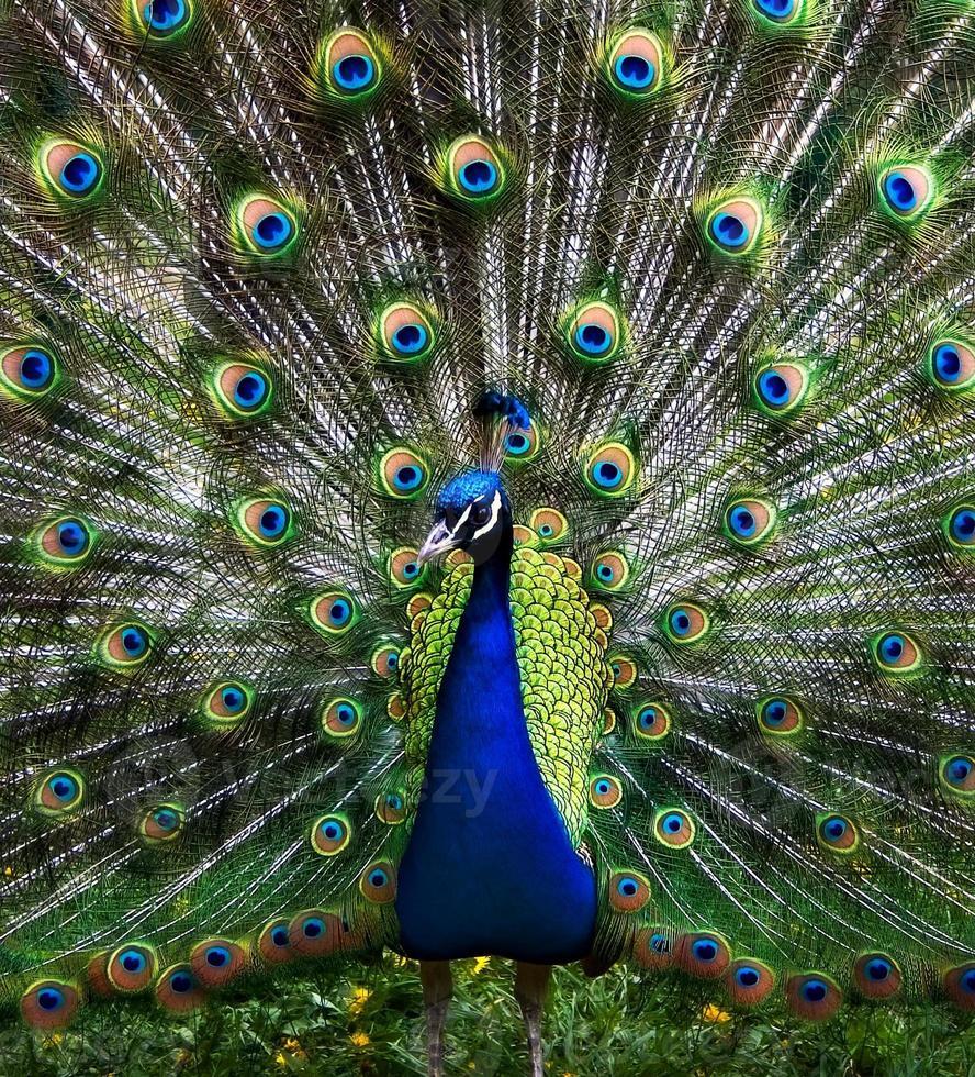 The peacock photo