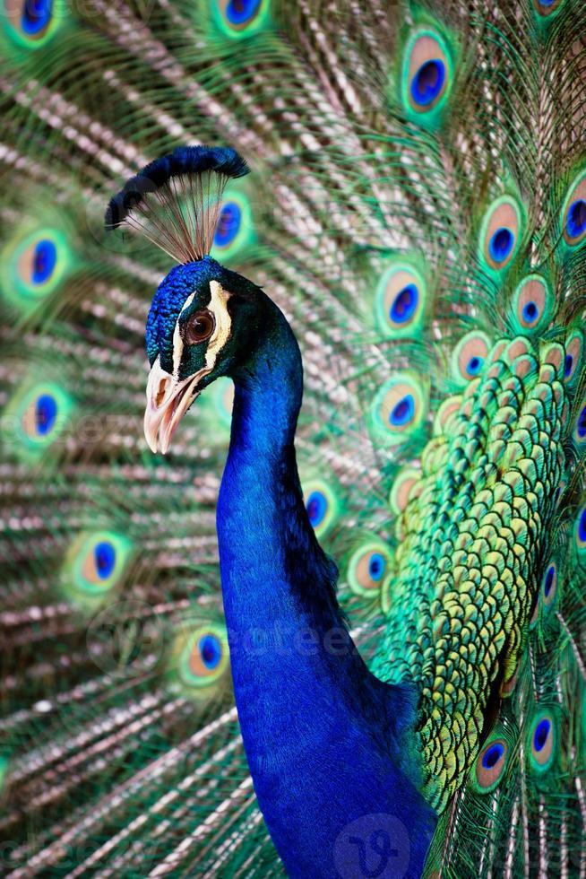 Retrato de hermoso pavo real foto