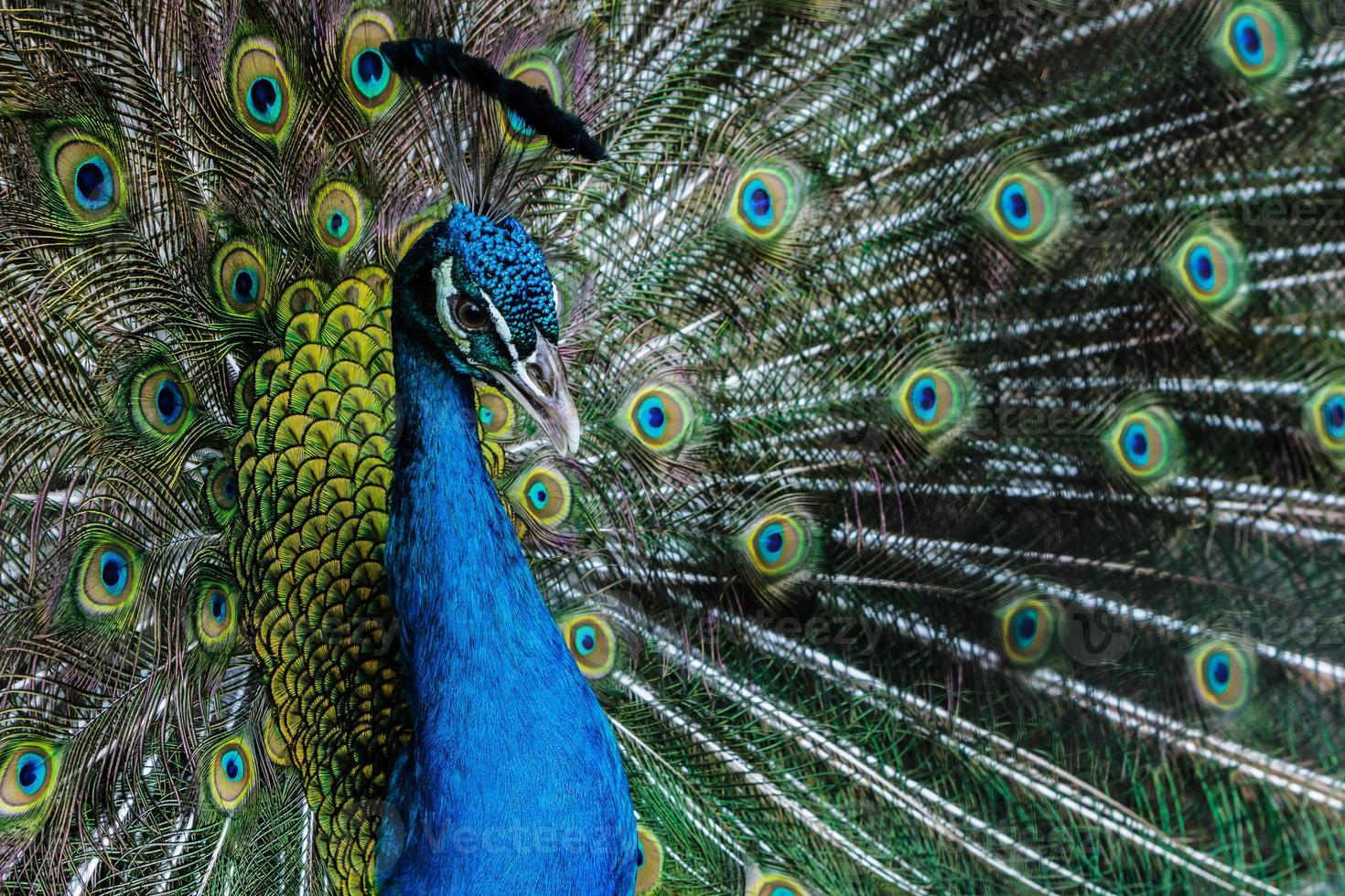 color brillante pavo real. foto