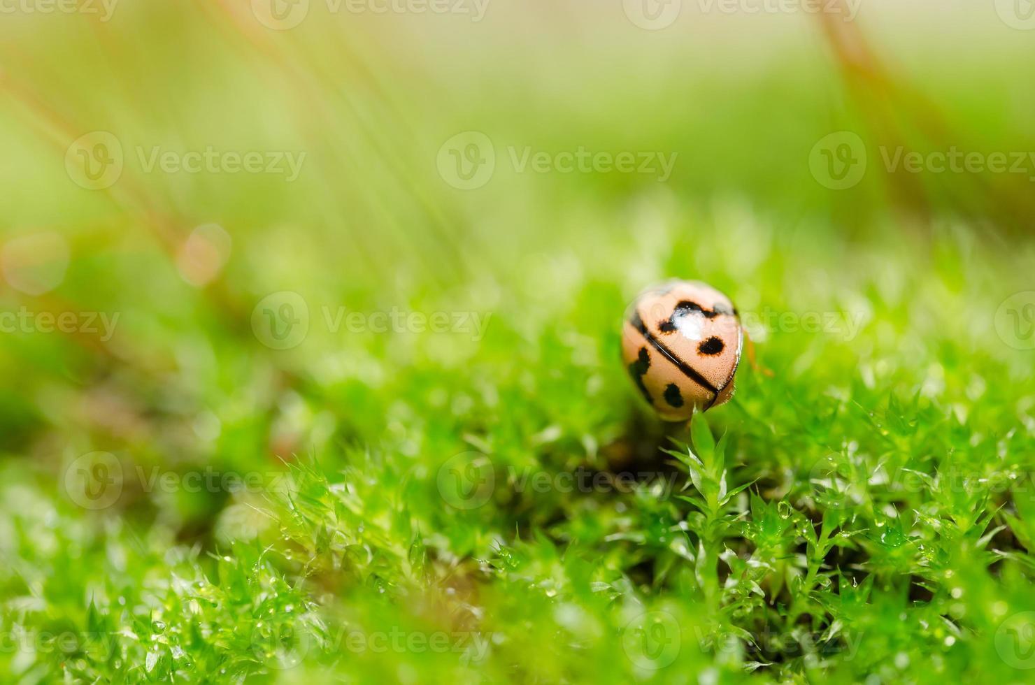 mariquita en la naturaleza verde foto