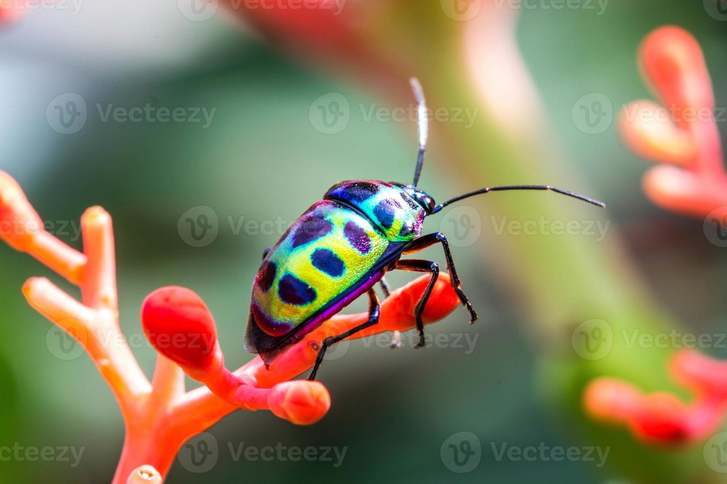 punaise du litchi (chrysocoris stolli, scutelleridae) photo