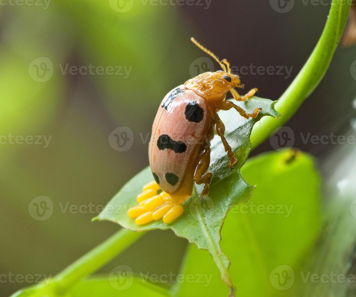 escarabajo naranja poniendo huevos foto