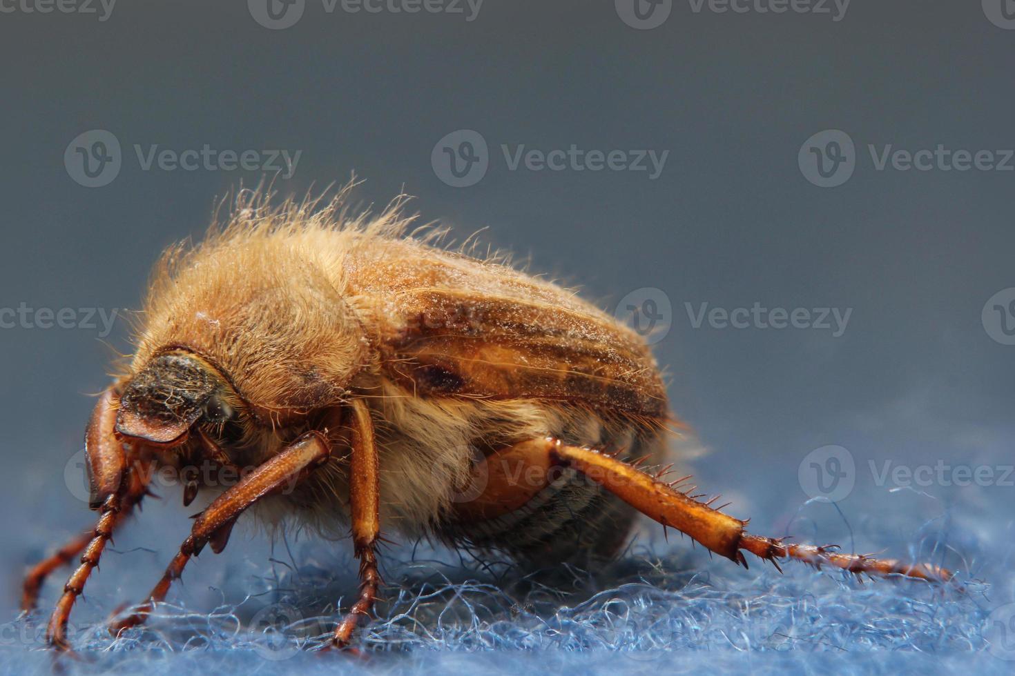 European June Beetle photo