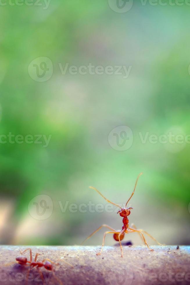 Ant tiny world (macro, entorno de enfoque selectivo en el fondo de la hoja) foto