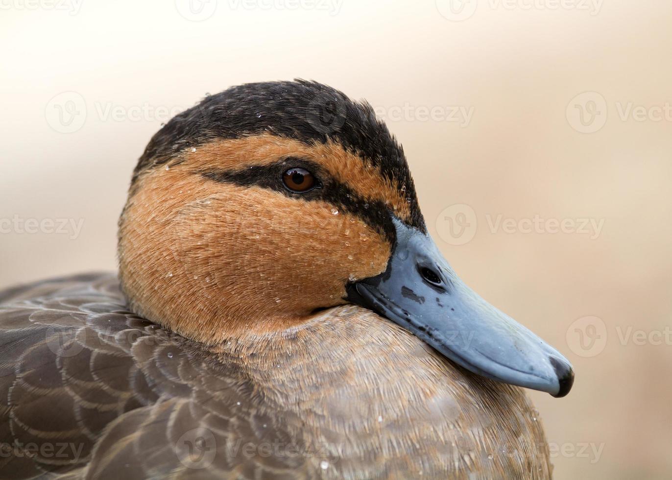 Philippine Duck photo