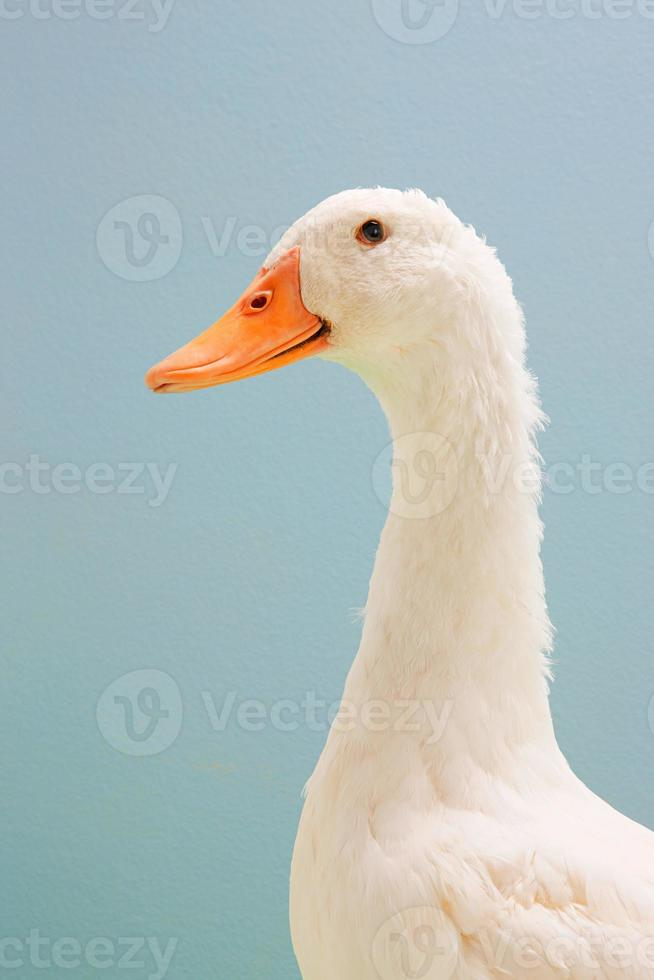 close-up de pato, estúdio tiro foto
