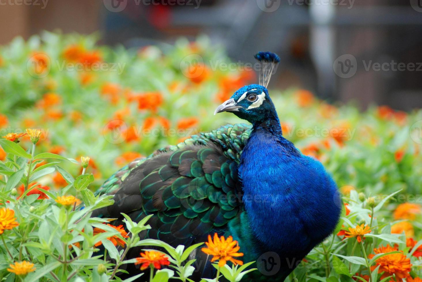 Peacock in a field of orange flowers photo
