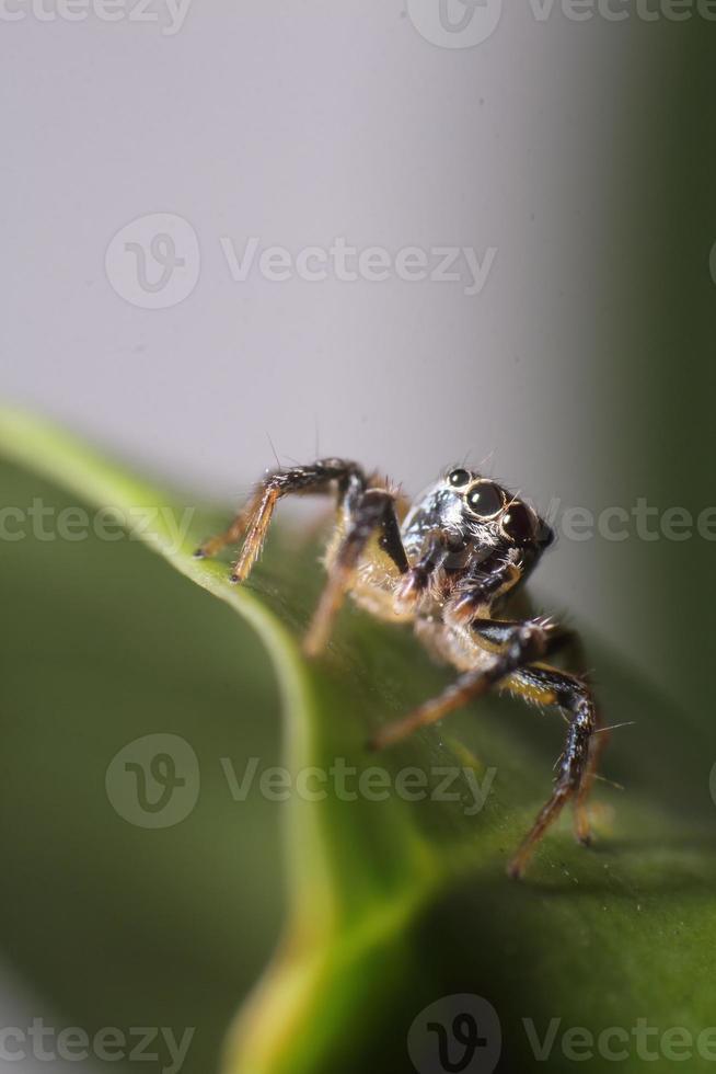 araignée sauteuse dans le jardin photo