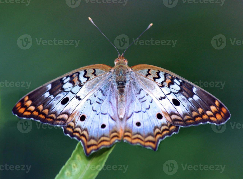 mariposa de pavo real blanca foto