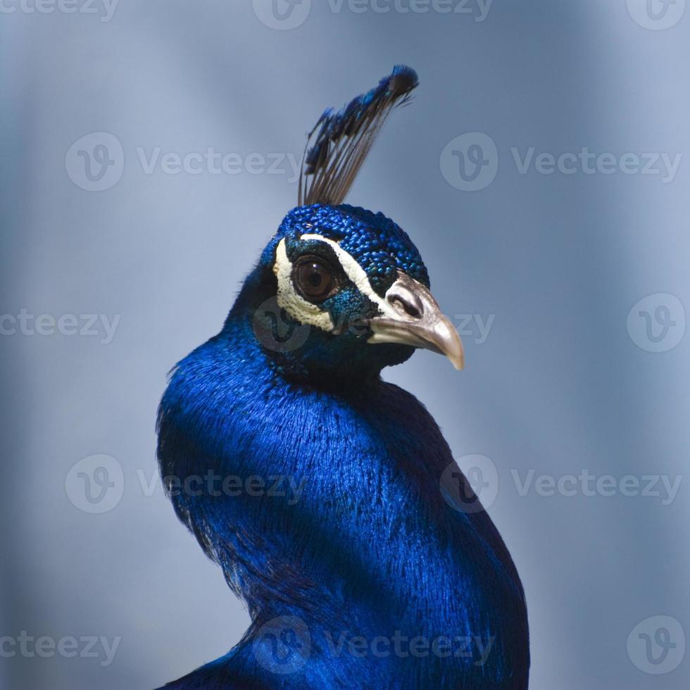 pavo real azul indio (pavo cristatus) foto