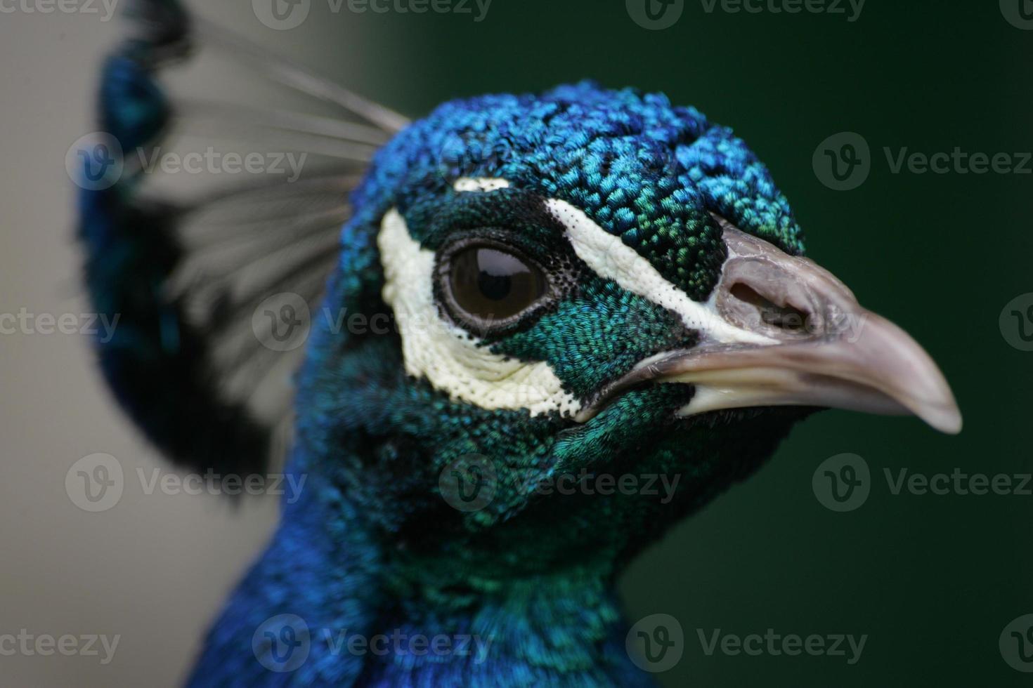 tiro en la cabeza de un pavo real / pavo real foto