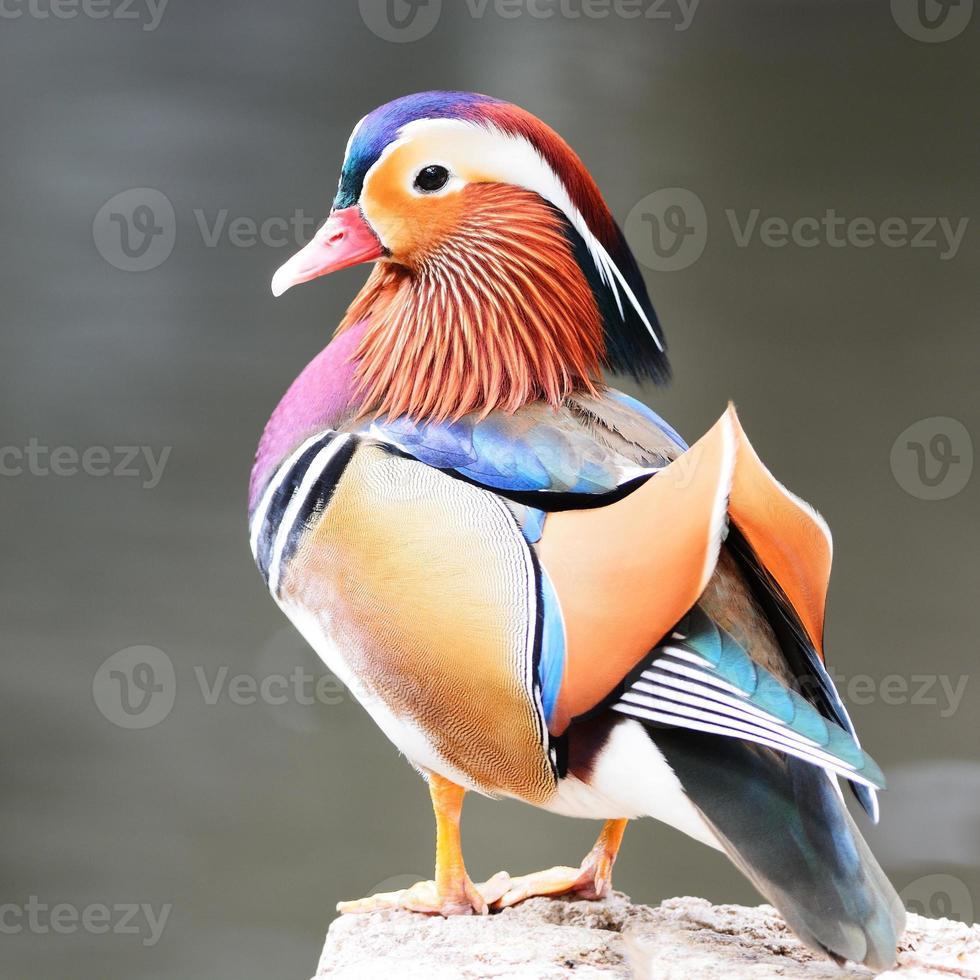 männliche Mandarinenente foto