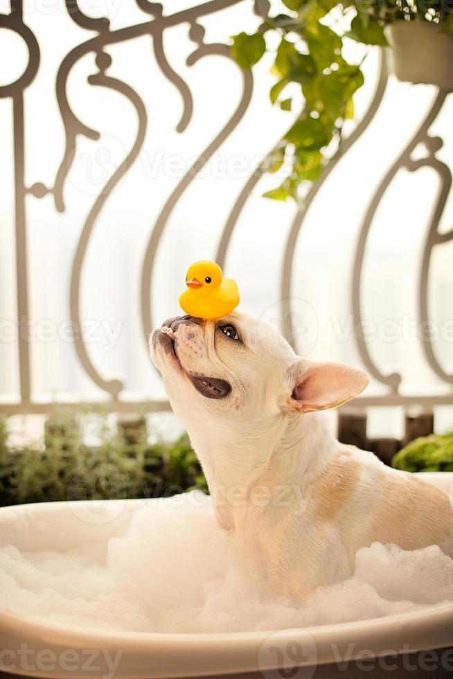 bulldog francés en un baño con pato de goma foto