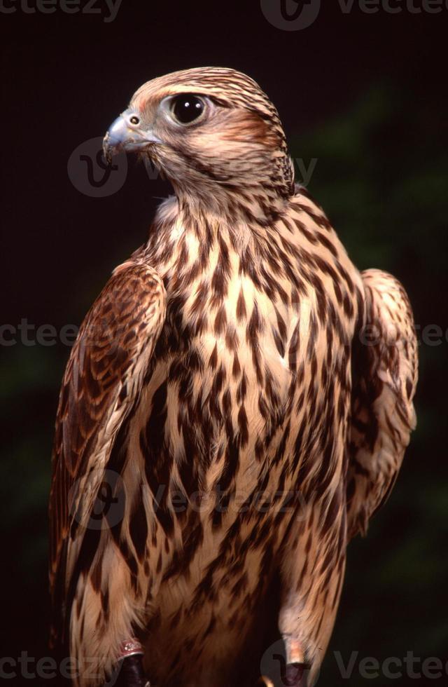 Merlin Falcon (Falco columbarius photo