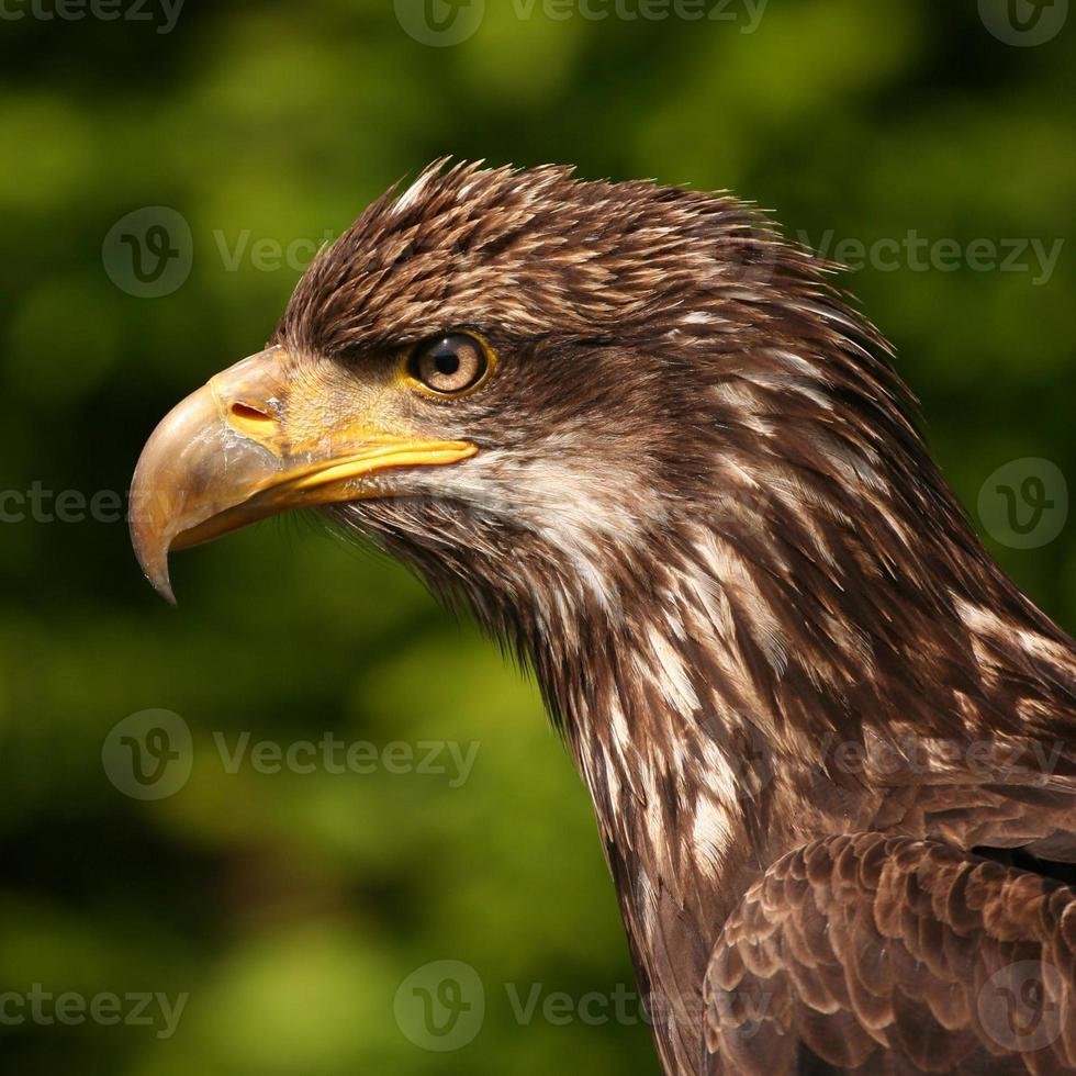 joven águila calva foto