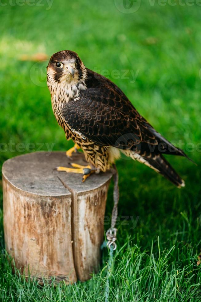 The peregrine falcon on green grass background photo