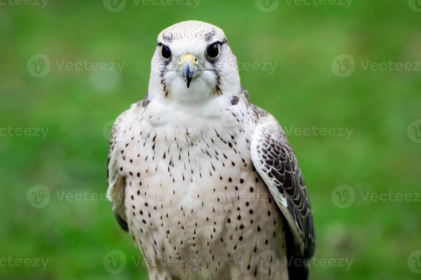 halcón lanner de cerca foto