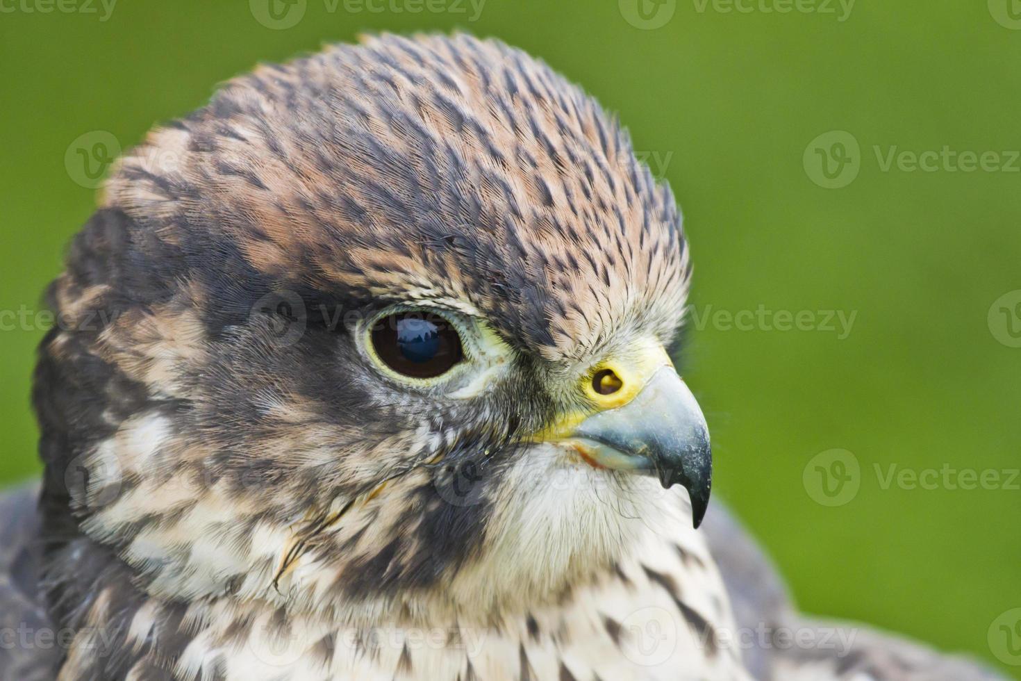 Lanner Falcon photo