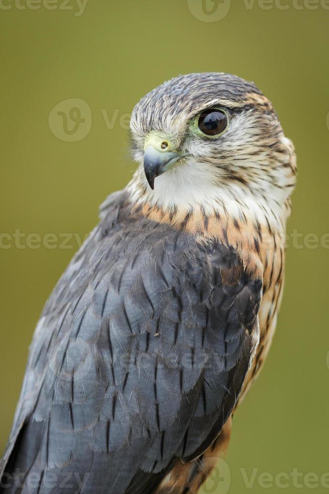 Merlin photo