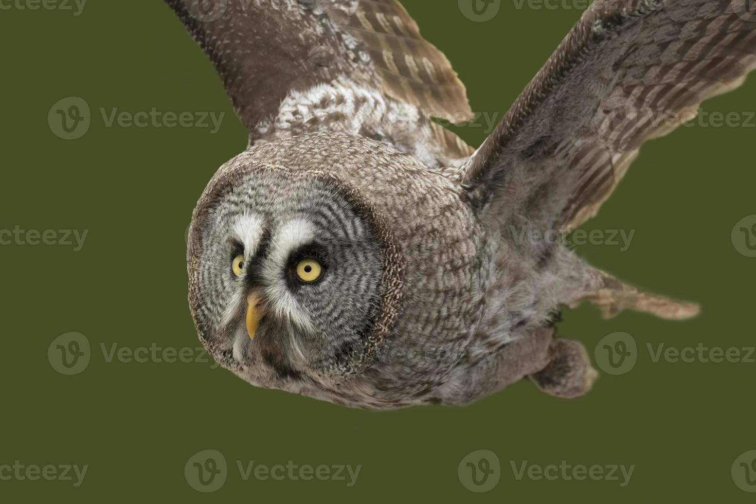 Great grey owl (Strix nebulosa) photo
