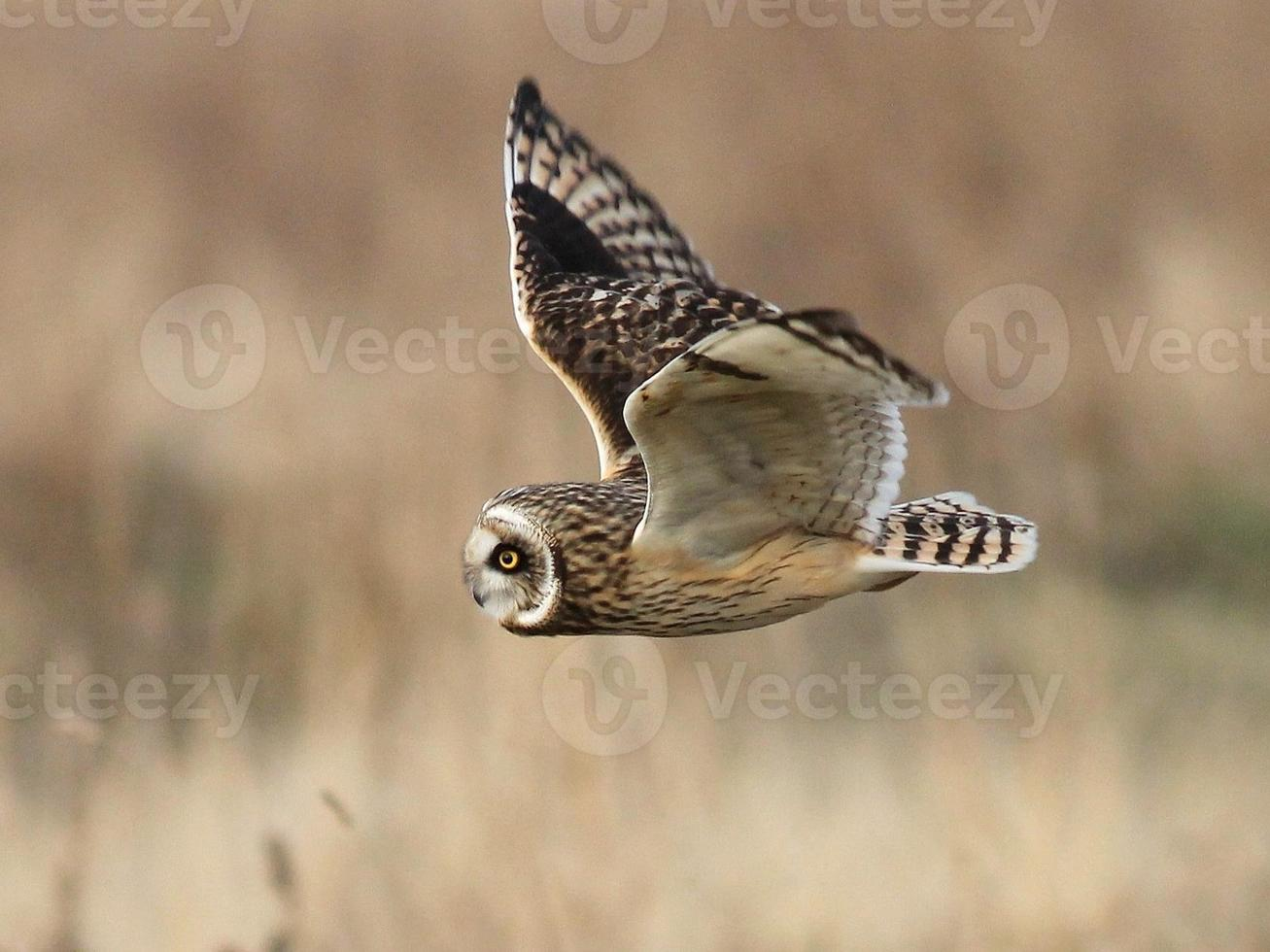 Short-eared Owl Hunting photo