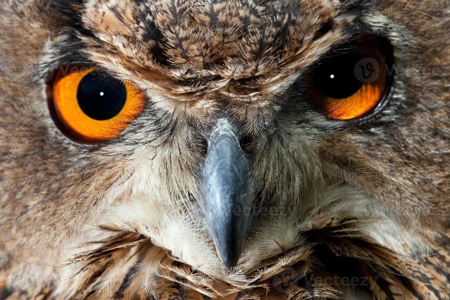 ojos de búho foto