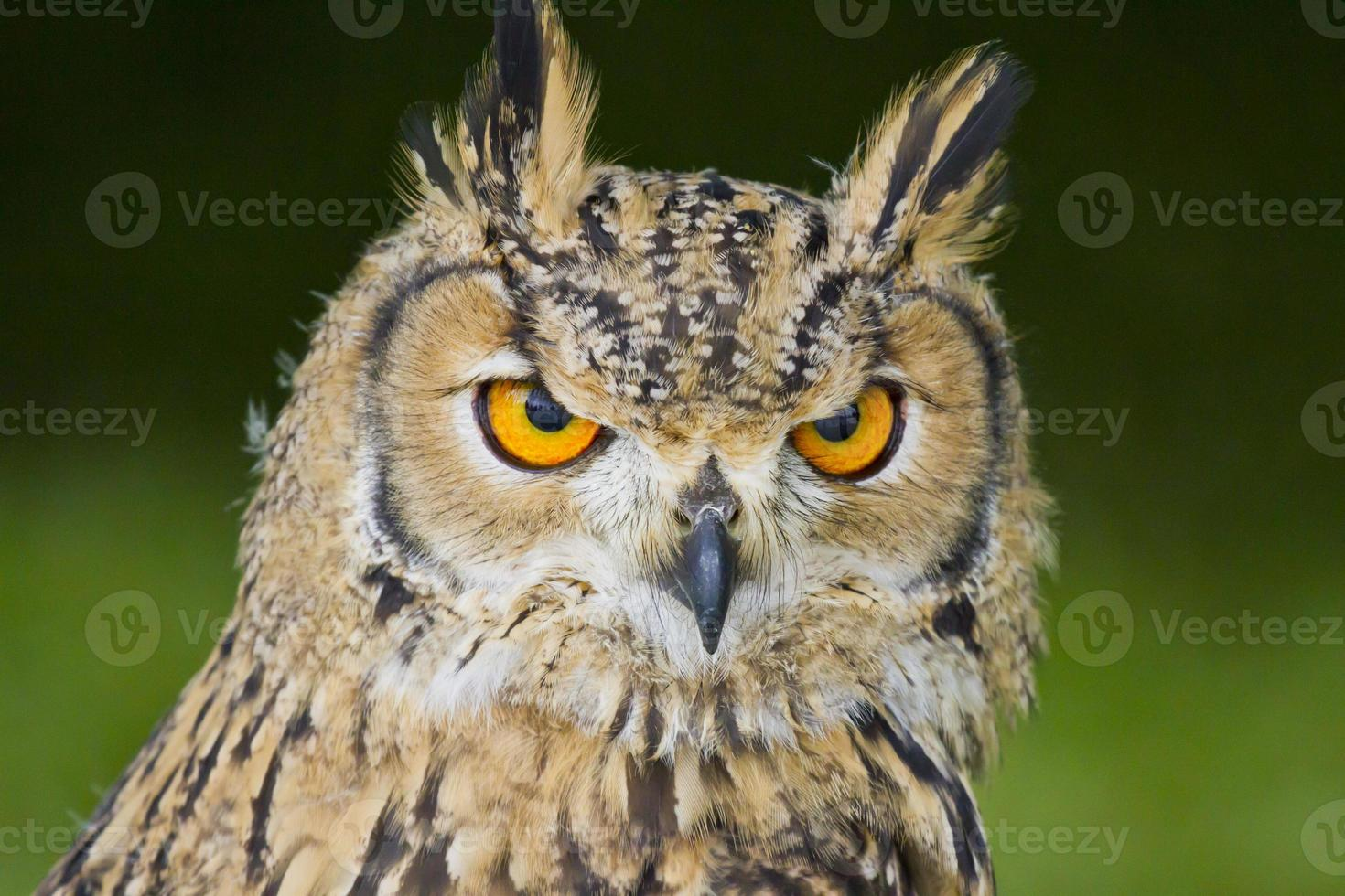 Indian Eagle Owl photo