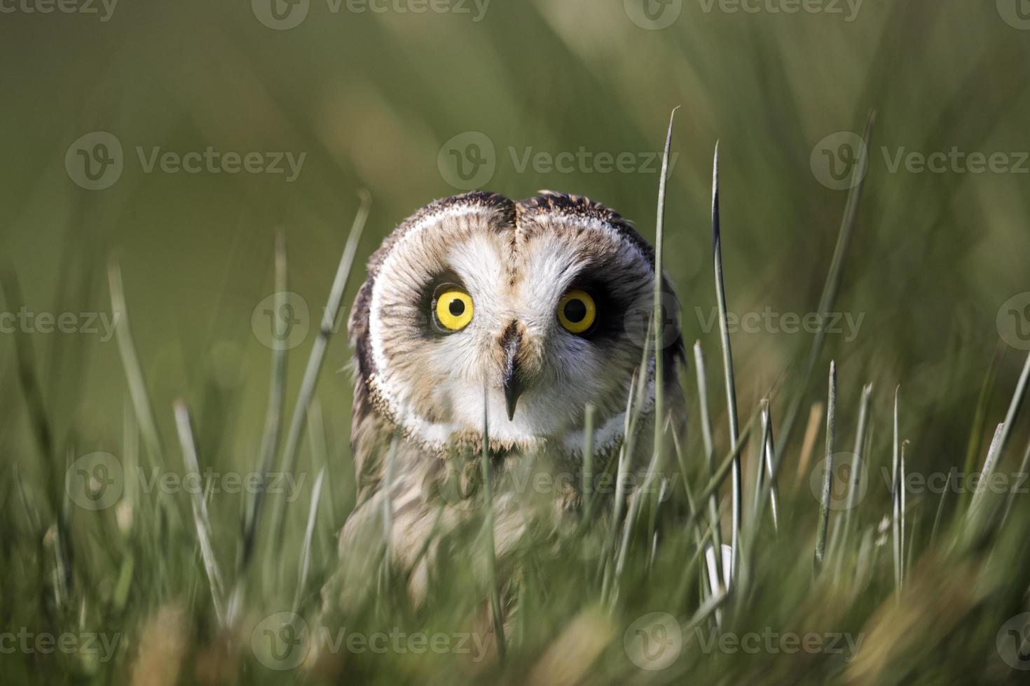 Short-eared owl, Asio flammeus photo