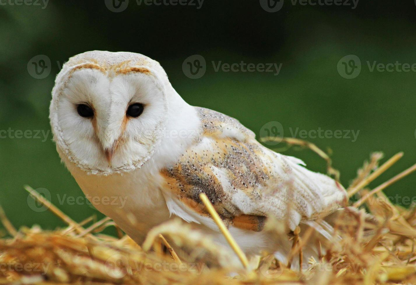Barn Owl on a bale of straw. photo