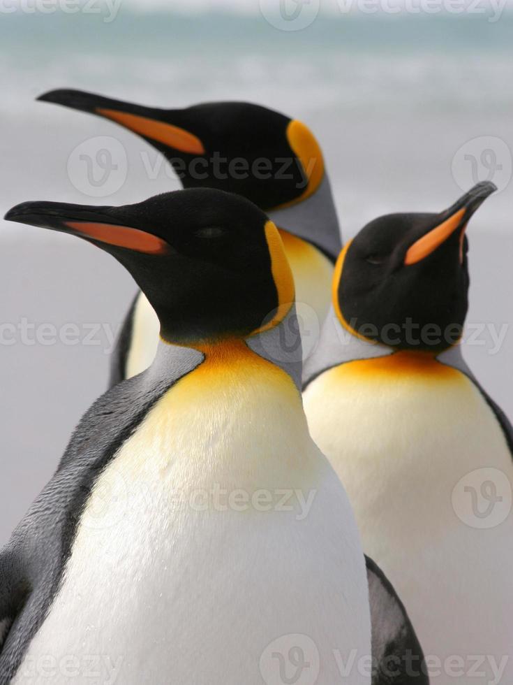 grupo de tres pingüinos rey foto