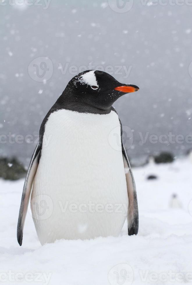 pingüino gentoo que se encuentra en una playa cubierta de nieve durante una nevada foto