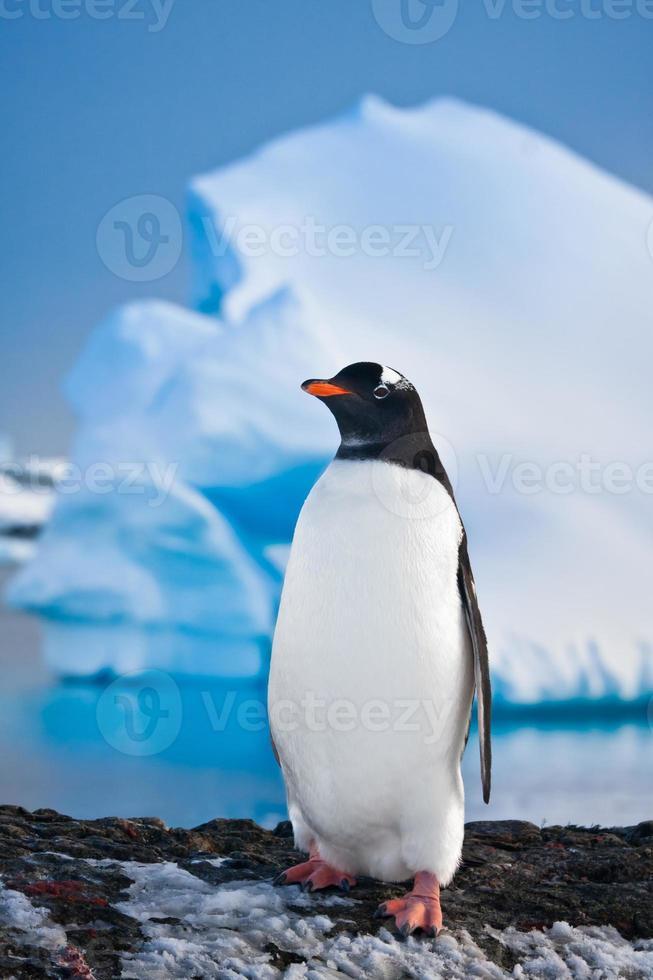 pingüino en las rocas foto
