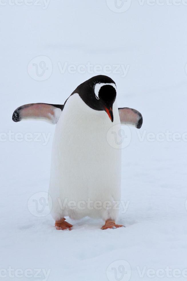 pingüino gentoo caminando sobre la nieve día nublado de invierno foto