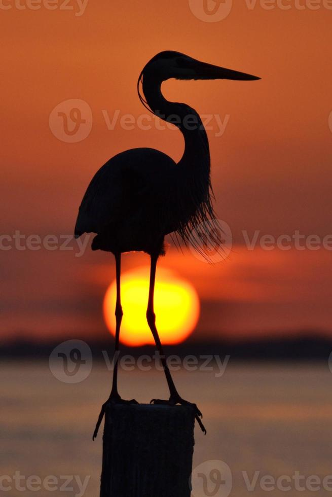 Great Blue Heron Silhouette photo