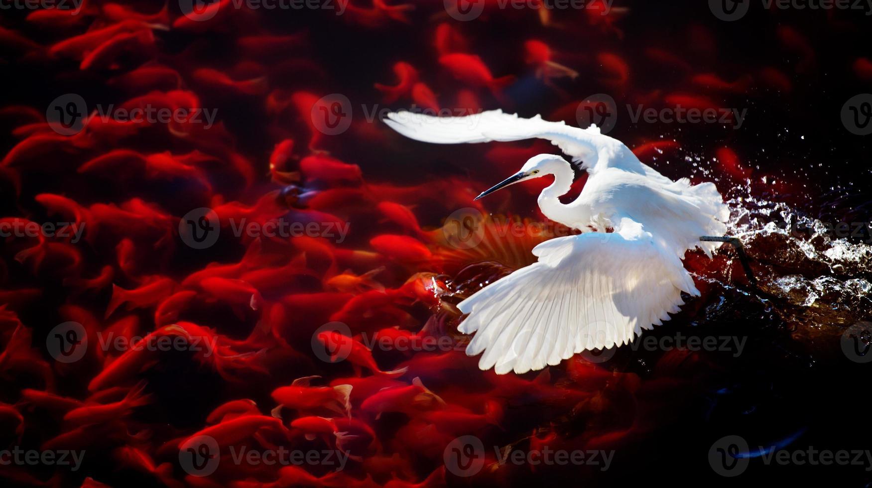 Heron in Flight photo