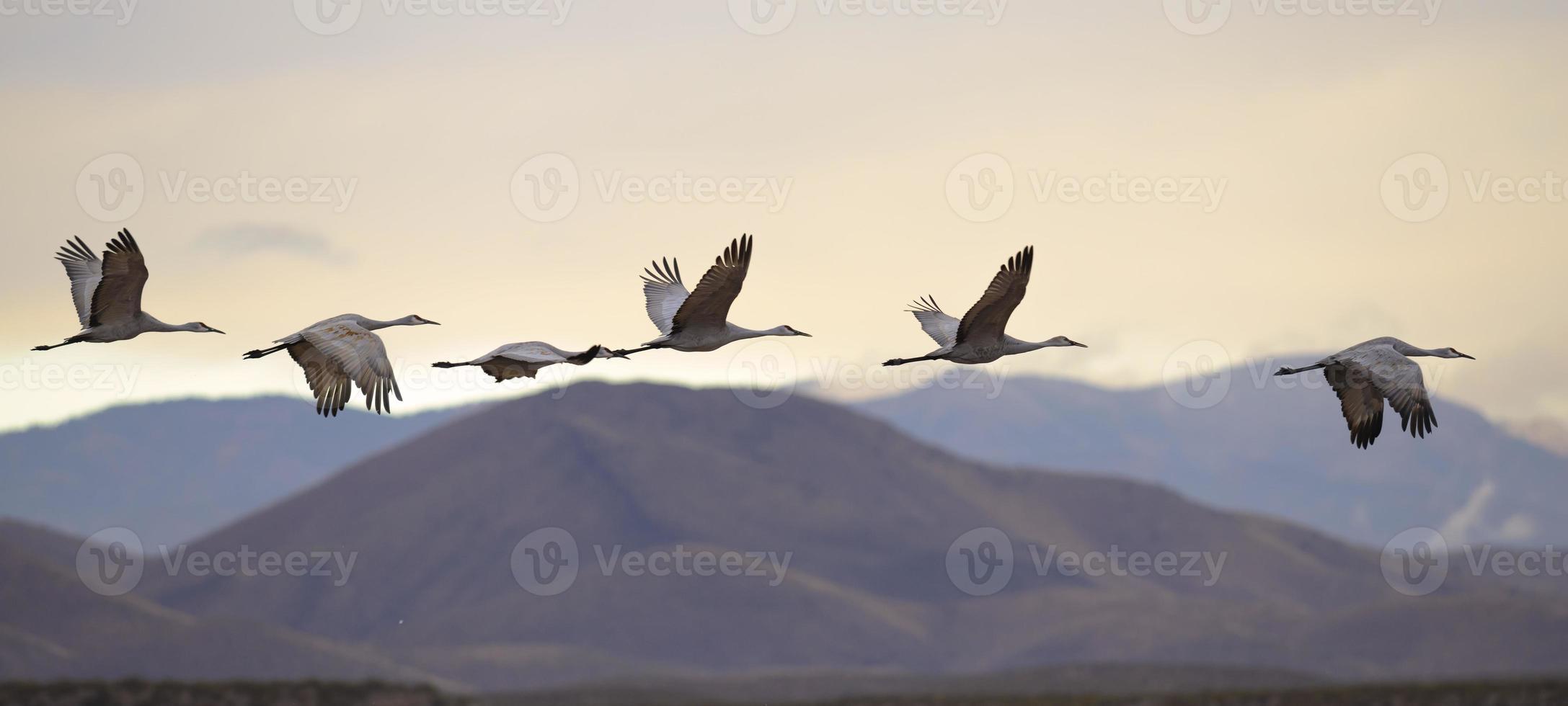 Flying cranes photo