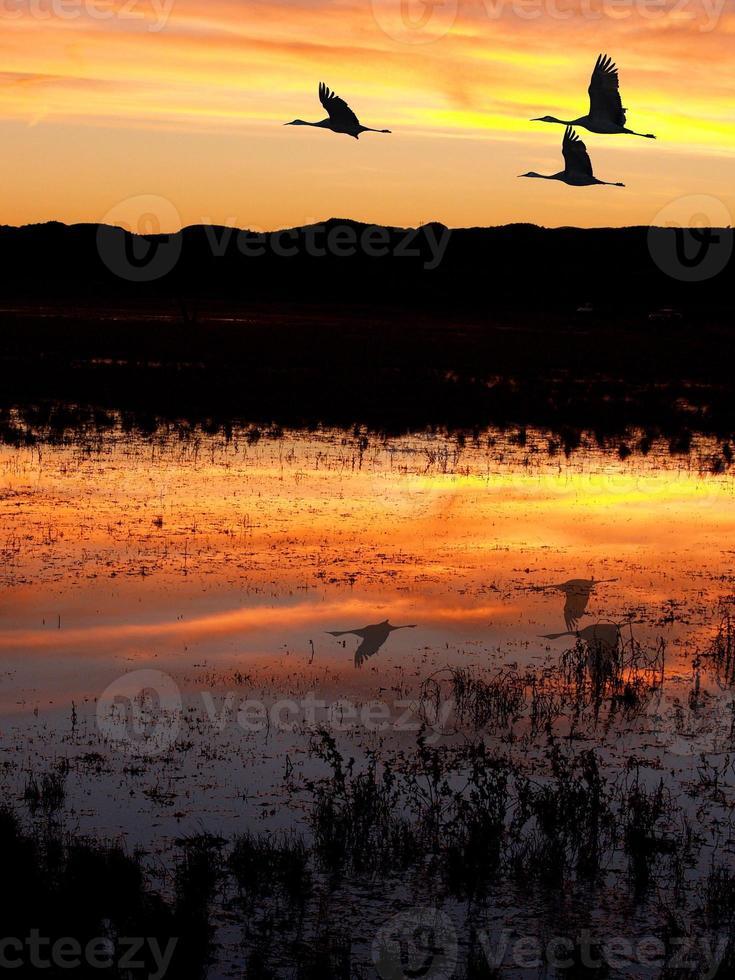 Cranes at Bosque del Apache photo